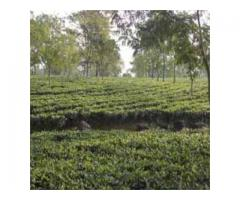 Tea Garden Sale at Reasonable Cost in North Bengal