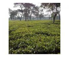 Tea Garden Sale in North Bengal