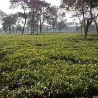 Tea Garden are Ready to Sell in Darjeeling and Dooars