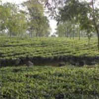 Aurthodox Tea Garden in Darjeeling & Dooars for Sale