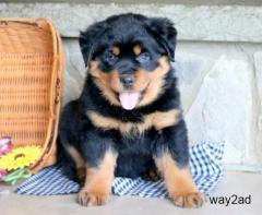 Rottweiler Puppies For Sale In Pune