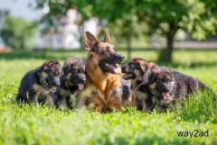 German Shepherd Puppies For Sale In Mumbai