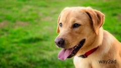 Labrador Puppies For Sale In Pune
