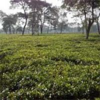 Darjeeling Tea Garden in Reasonable Cost